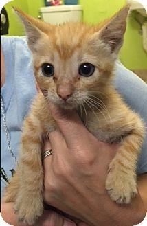 Domestic Shorthair Kitten for adoption in Kirby, Texas - Tony