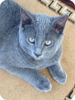 Domestic Shorthair Kitten for adoption in Bronx, New York - Omar