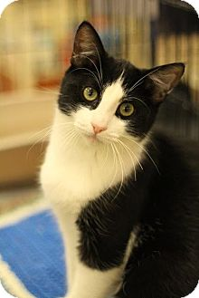 Domestic Shorthair Cat for adoption in Sacramento, California - Jack