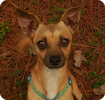 Rat Terrier Mix Dog for adoption in Ormond Beach, Florida - Beetle Bailey