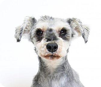 Standard Schnauzer Mix Dog for adoption in Truckee, California - Hopscotch