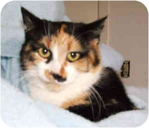 Domestic Shorthair Cat for adoption in Aledo, Illinois - Mabeline