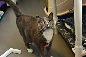 Domestic Shorthair Cat for adoption in Beacon, New York - Sophie