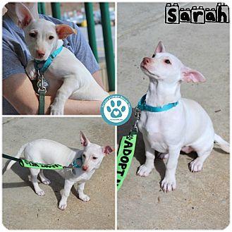 Chihuahua Mix Puppy for adoption in Kimberton, Pennsylvania - Sarah