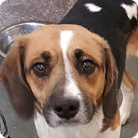 Adopt A Pet :: Copper - Fort Smith, AR