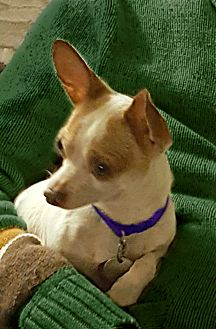 Jack Russell Terrier/Chihuahua Mix Dog for adoption in Redondo Beach, California - Radar