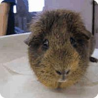 Adopt A Pet :: *Urgent* Brownie - Fullerton, CA