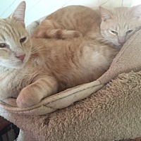 American Shorthair Cat for adoption in La Canada Flintridge, California - Biscuit