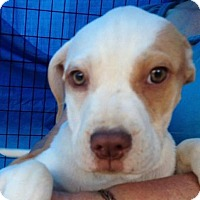 Adopt A Pet :: DARCY - Coudersport, PA