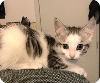 Domestic Shorthair Kitten for adoption in Columbus, Ohio - Calen