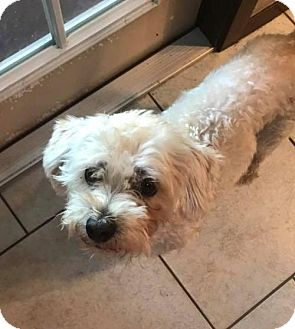 Poodle (Miniature) Mix Dog for adoption in ROSENBERG, Texas - Harold