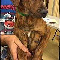 Adopt A Pet :: Hailey - Ahoskie, NC