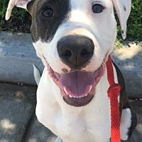 Adopt A Pet :: Nash - San Diego, CA