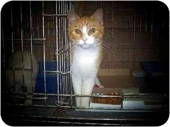 Domestic Shorthair Cat for adoption in Baltimore, Maryland - Colonel