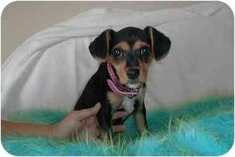 Jack Russell Terrier/Beagle Mix Puppy for adoption in Cincinnati, Ohio - Loor/Lola