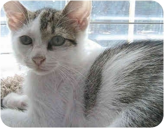 Domestic Shorthair Cat for adoption in Greensboro, North Carolina - Boca
