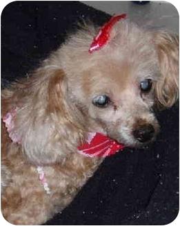 Toy Poodle Mix Dog for adoption in Melbourne, Florida - TARA