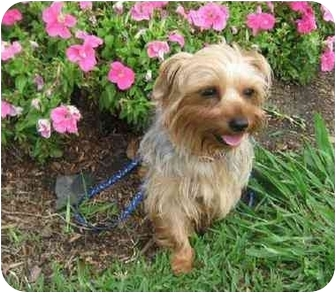 Yorkie, Yorkshire Terrier Dog for adoption in Conroe, Texas - Twink