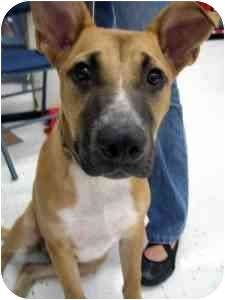 Pit Bull Terrier/Blue Heeler Mix Dog for adoption in College Station, Texas - Ollivander