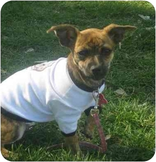 Toy Fox Terrier Mix Puppy for adoption in Calgary, Alberta - Twiggy