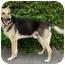 Photo 3 - German Shepherd Dog Mix Dog for adoption in Los Angeles, California - Maximilliam von Magdeburg