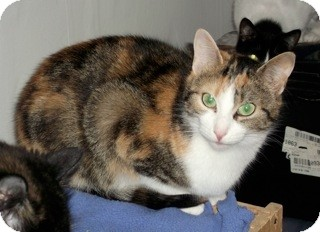 Domestic Shorthair Cat for adoption in Orillia, Ontario - Sunshine
