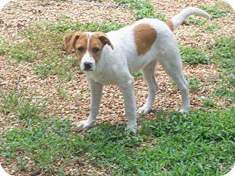 Collie Mix Puppy for adoption in Williston, Vermont - Willie