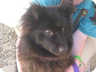 Border Collie/Australian Shepherd Mix Dog for adoption in Sacramento, California - Bear
