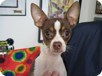 Chihuahua Mix Dog for adoption in Lexington, Kentucky - Pee Wee Adoption Special