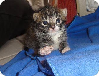Domestic Shorthair Kitten for adoption in Barnegat, New Jersey - Siren