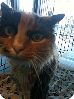 Calico Cat for adoption in Phoenix, Arizona - Ruby