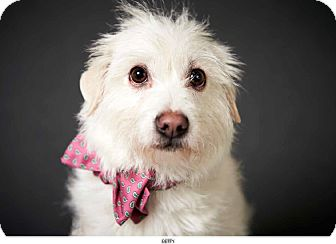 Westie, West Highland White Terrier Mix Dog for adoption in New York, New York - Betty