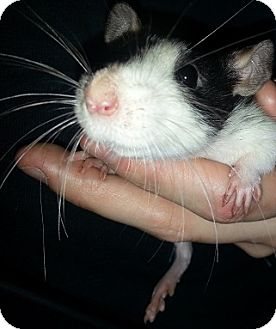 Rat for adoption in Lakewood, Washington - Broken Blaze #2