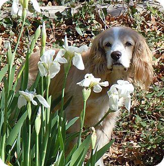 Cocker Spaniel Dog for adoption in Fort Worth, Texas - JOE COCKER