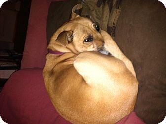Labrador Retriever/Boxer Mix Dog for adoption in Scottsdale, Arizona - Gracie