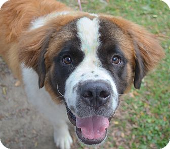 St. Bernard Puppy for adoption in Bellflower, California - Jade