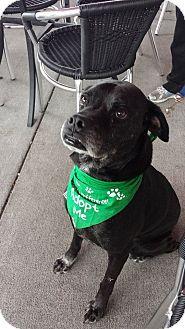 Boxer/Labrador Retriever Mix Dog for adoption in Louisville, Kentucky - Dakota
