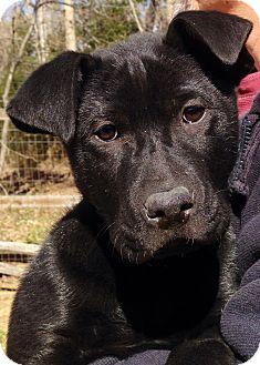 Labrador Retriever Mix Puppy for adoption in Ashland, Virginia - Pluto