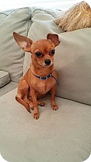Chihuahua Dog for adoption in Metairie, Louisiana - Little 6lbs