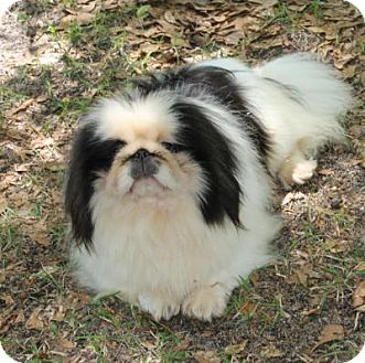 Pekingese Dog for adoption in Irmo, South Carolina - Tazar