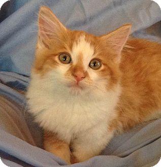 Domestic Longhair Kitten for adoption in Brimfield, Massachusetts - Squiggles