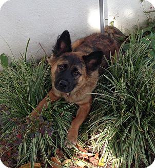 Australian Shepherd Mix Puppy for adoption in Sagaponack, New York - Barkley