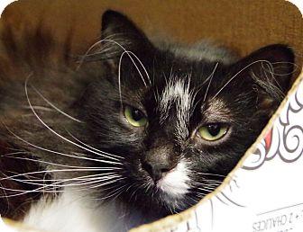 Domestic Longhair Cat for adoption in Daytona Beach, Florida - Harry Potter