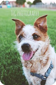 Terrier (Unknown Type, Small) Mix Dog for adoption in Las Vegas, Nevada - Larry Franco