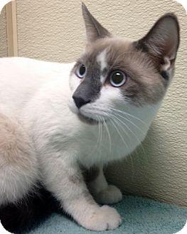 Siamese Kitten for adoption in Las Vegas, Nevada - Dylan
