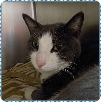 Domestic Shorthair Cat for adoption in Marietta, Georgia - HUDSON (R)