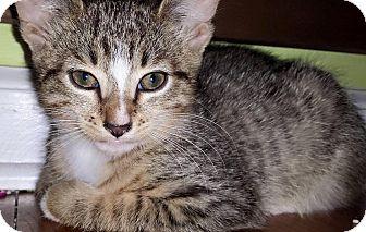 Domestic Shorthair Kitten for adoption in Oxford, Connecticut - Cap' N Crunch