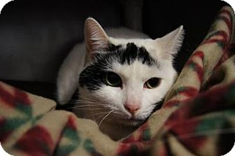Domestic Shorthair Cat for adoption in New Milford, Connecticut - Belle