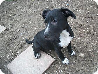Labrador Retriever/Bluetick Coonhound Mix Puppy for adoption in Portland, Indiana - Cutie