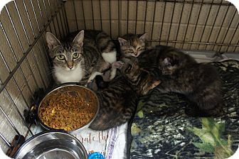 Domestic Shorthair Cat for adoption in Henderson, North Carolina - Gracie and 4 kittens